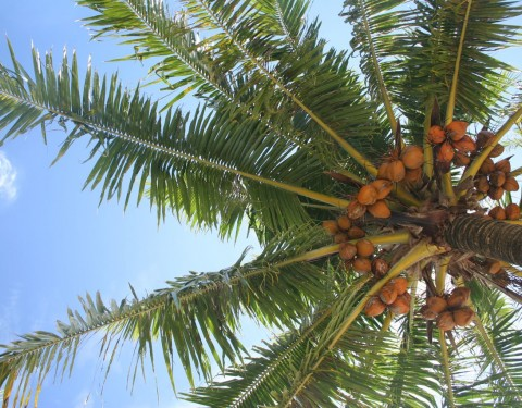 Bora Bora Motu Coconuts